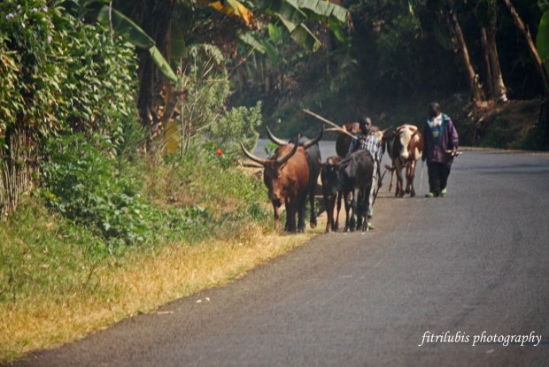 A Shepherd with his cows, view on the way to Kavumu Airport
