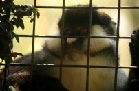 Sad monkey at Uganda Wildlife Education Center