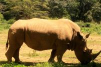 Rhinocero at Uganda Wildlife Education Center