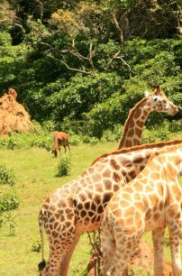 Some giraffes are having breakfast at Uganda Wildlife Education Center