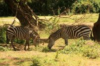 Zebra at Uganda Wildlife Education Center