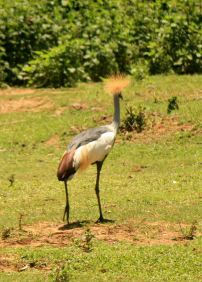 Crown Crane, typical of African bird, at Uganda Wildlife Education Center