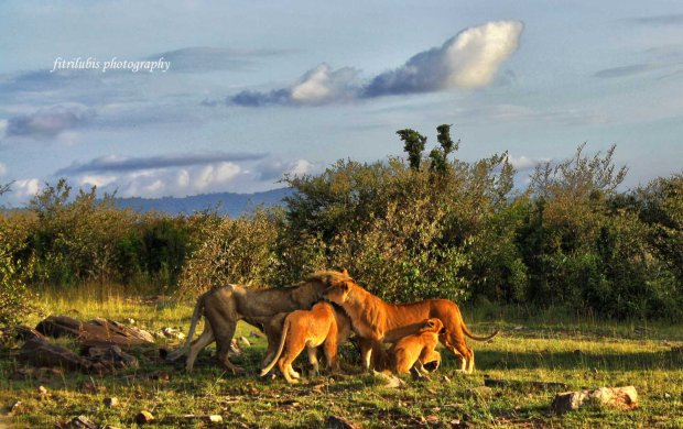 Lions at Maasai Mara National Park