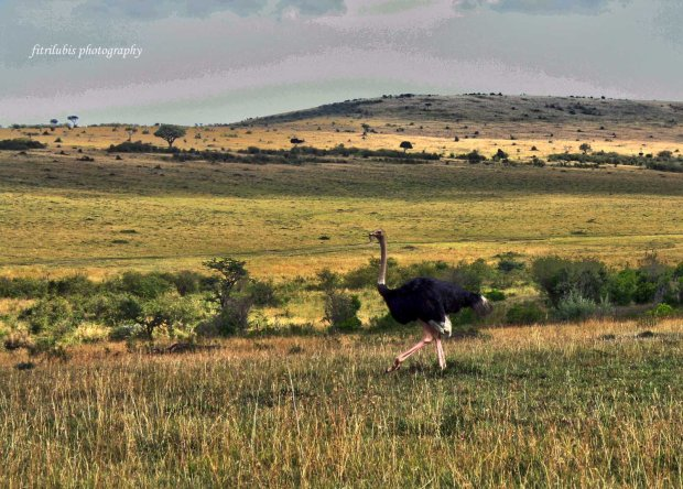 Ostrich at Maasai Mara National Park