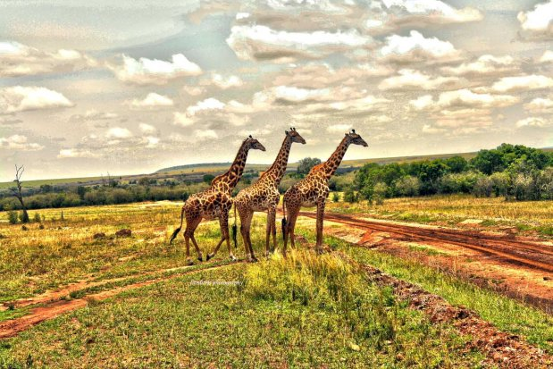 Giraffes at Maasai Mara National Park