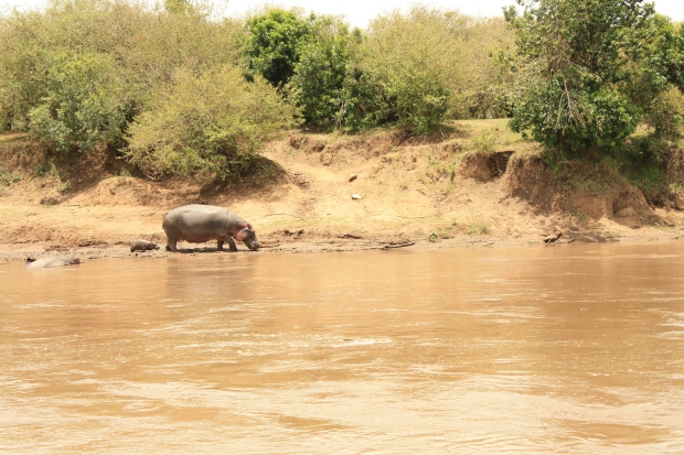 Hippos at Maasai Mara National Park