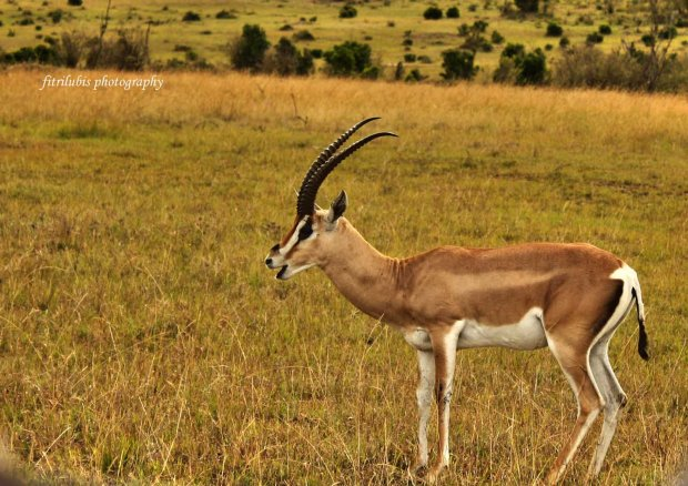 Antelope, at Maasai Mara National Park