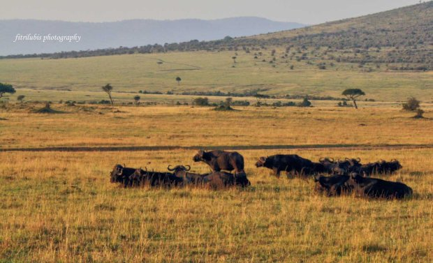 Buffalos, at Maasai Mara National Park