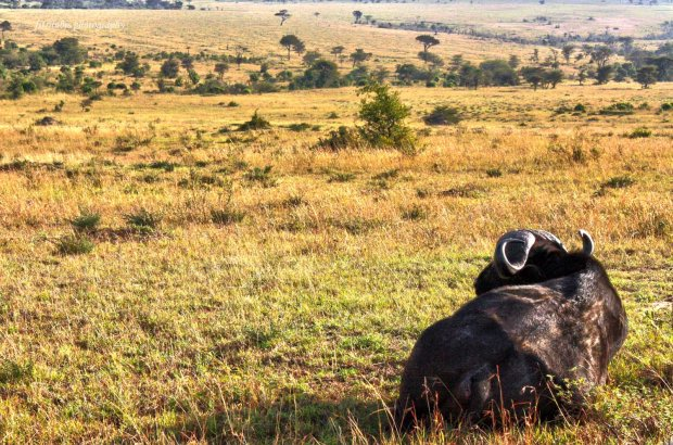 Buffalo enjoying the sunshine, at Maasai Mara National Park