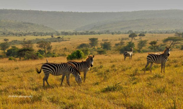 Zebras, at Maasai Mara National Park