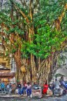 Big Tree in Stone Town