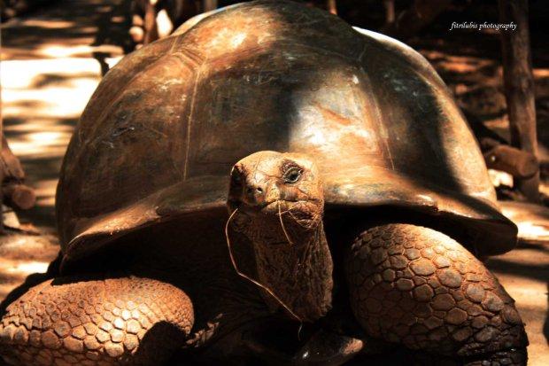 Huge Tortoise in Prison Island