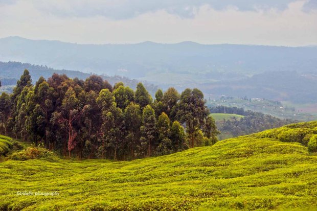 Tea Plantations on my way from Kamembe to Kigali