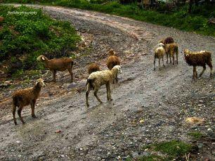 Some sheep we saw in Gajah