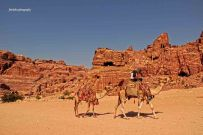 Bedouin Man and his camels